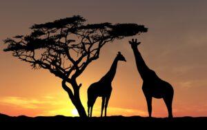africa-wildlife-giraffes-sunset_995228